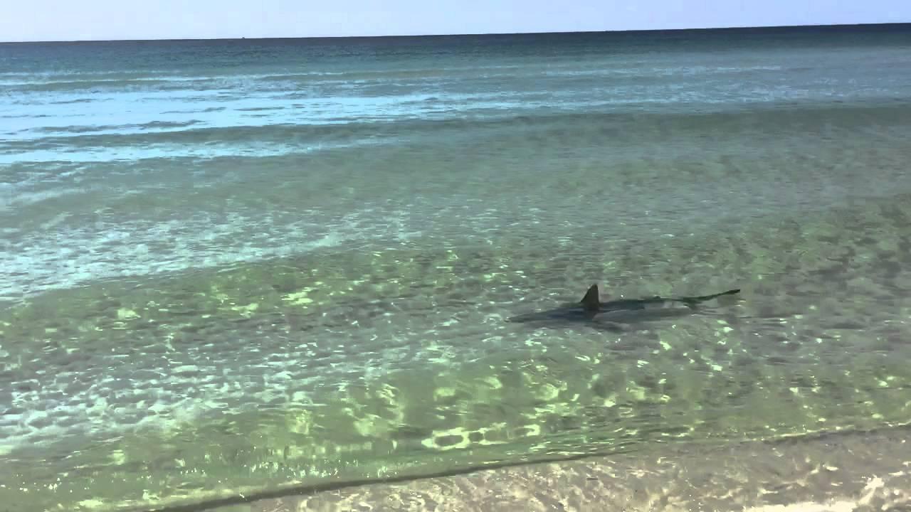 Destin fl shark video youtube for Destin shark fishing