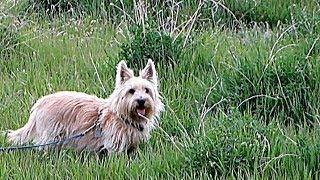 Wild Cairn Terrier