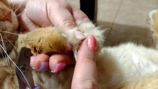 Как подстричь коту (кошке) когти самостоятельно