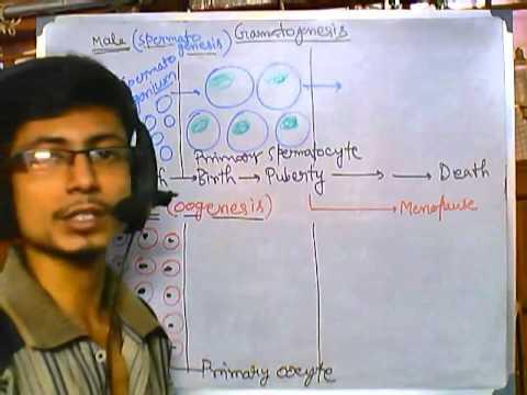 Developmental biology part 7 | spermatogenesis and oogenesis in mammals