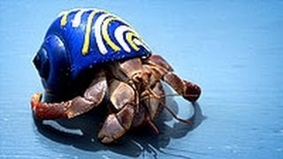 Hermit Crabs Gang Up to Evict Neighbors, Find Bigger Homes