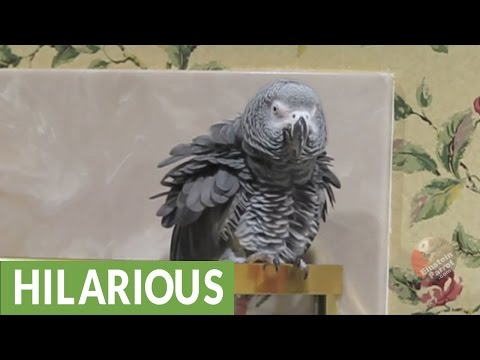 Parrot performs his version of Singin' in the Rain
