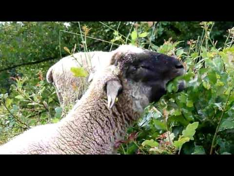 Shropshire schafe doovi for Schafe halten im garten