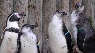 Penguin Chicks At Chester Zoo Start Toddler Training