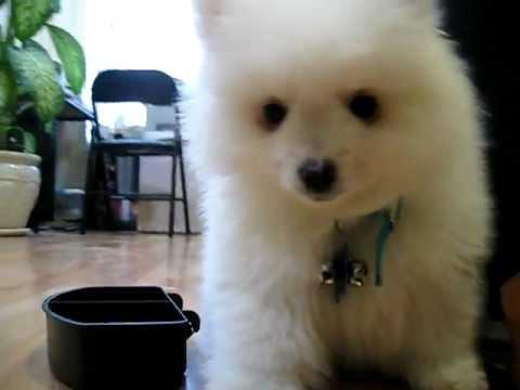 Toy American Eskimo Puppy Youtube