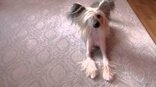 Chinese Crested Christmas Dog Toy 2014