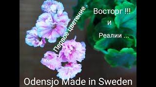 Лучшие сортовые пеларгонии.Идеальная пестролистная пеларгония Odensjö Made in Sweden.Первое цветение