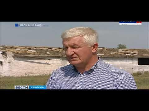 В Самарской области безнадзорный скот уничтожает урожай фермеров