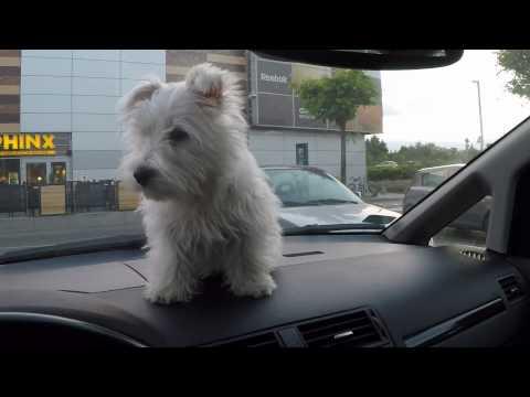 West Highland White Terrier video | FunnyDog.TV