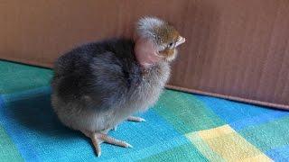 Kura Gołoszyjka ( Kurczak ) - Kupię mu szaliczek bo zimno..