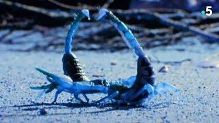 Voilà ce qu'un scorpion doit faire pour coucher - ZAPPING SAUVAGE