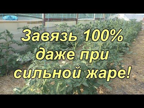 Как наши помидоры завязались на 100% даже при очень сильной жаре?