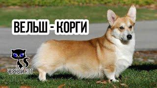 Вельш корги - самая маленькая овчарка / Интересные факты о собаках