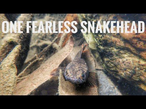 Snakehead In Natural Habitat