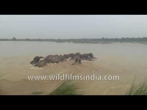 Elephants swim across flooded river in India
