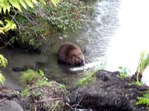 Beaver Eating A Fish