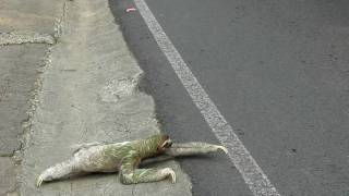 Three-toed sloth crossing the road in Costa Rica