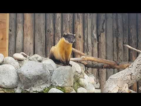 A male of Yellow-throated marten