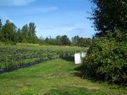 Sunny 5 Acres In Blaine Washington - With Blueberries, Home and Barn