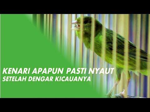 Download Lagu KENARI APAPUN , PASTI NYAUT SETELAH MENDENGAR KICAU KENARI INI !