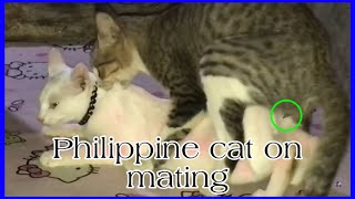 Philippine breed cat mating | cat mating season | firstimer cat on mating
