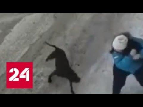 На Камчатке бойцовская собака изранила беременную женщину и ее питомца - Россия 24