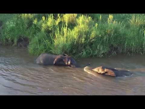 Elephant Swimming, Crocodile River