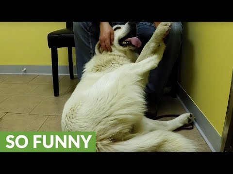 This dog is ridiculously relaxed at the vet's office