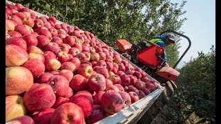 Apple Harvesting and Apple Farming Technology
