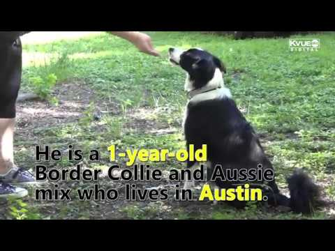 Austin Puppy Training To Be First Therapy Funeral Dog In Texas