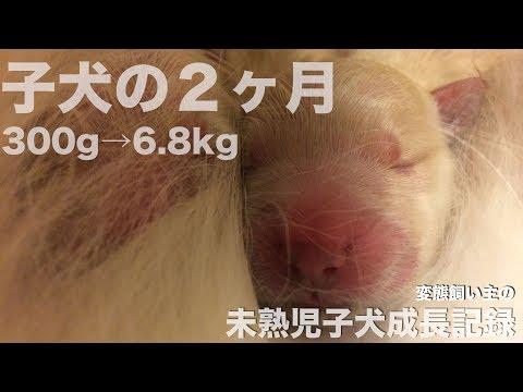小さく産まれたゴールデンレトリバー2ヶ月間の成長記録