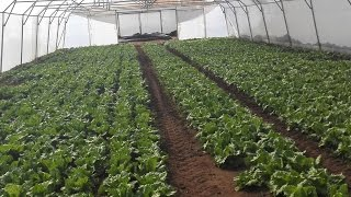 Ours vegetable tunnel farms 03459442750 Zain Ali Farming in Pakistan