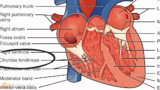 Anatomy And Physiology Of The Cardiovascular System: Heart Anatomy
