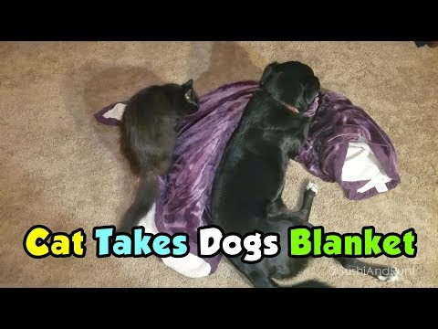 Cat Takes Dog's Blanket ! Too Funny !