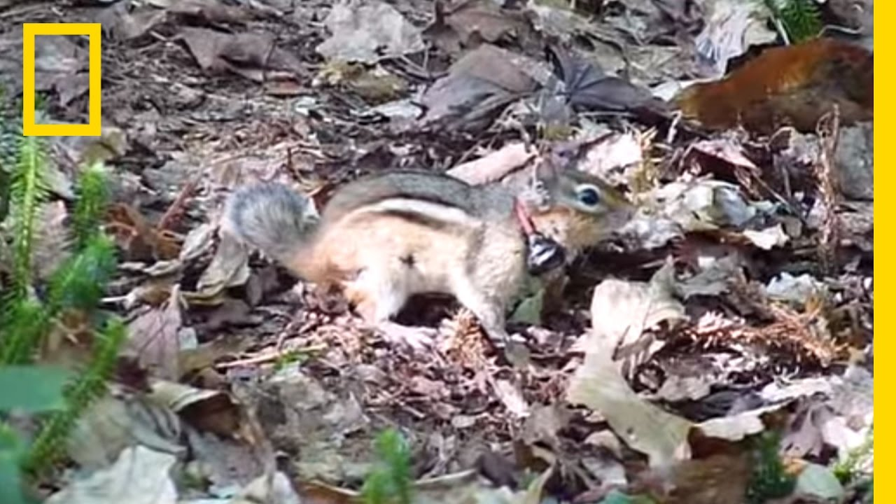 A Short Guide to Chipmunk Noises | National Geographic