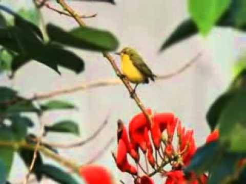 Breakfast Time For Burung Madu Sriganti - Olive-backed Sunbird