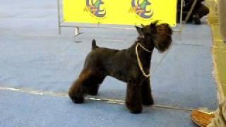 2009.11. 14 Miniature Schnauzer  Fci Dog Show