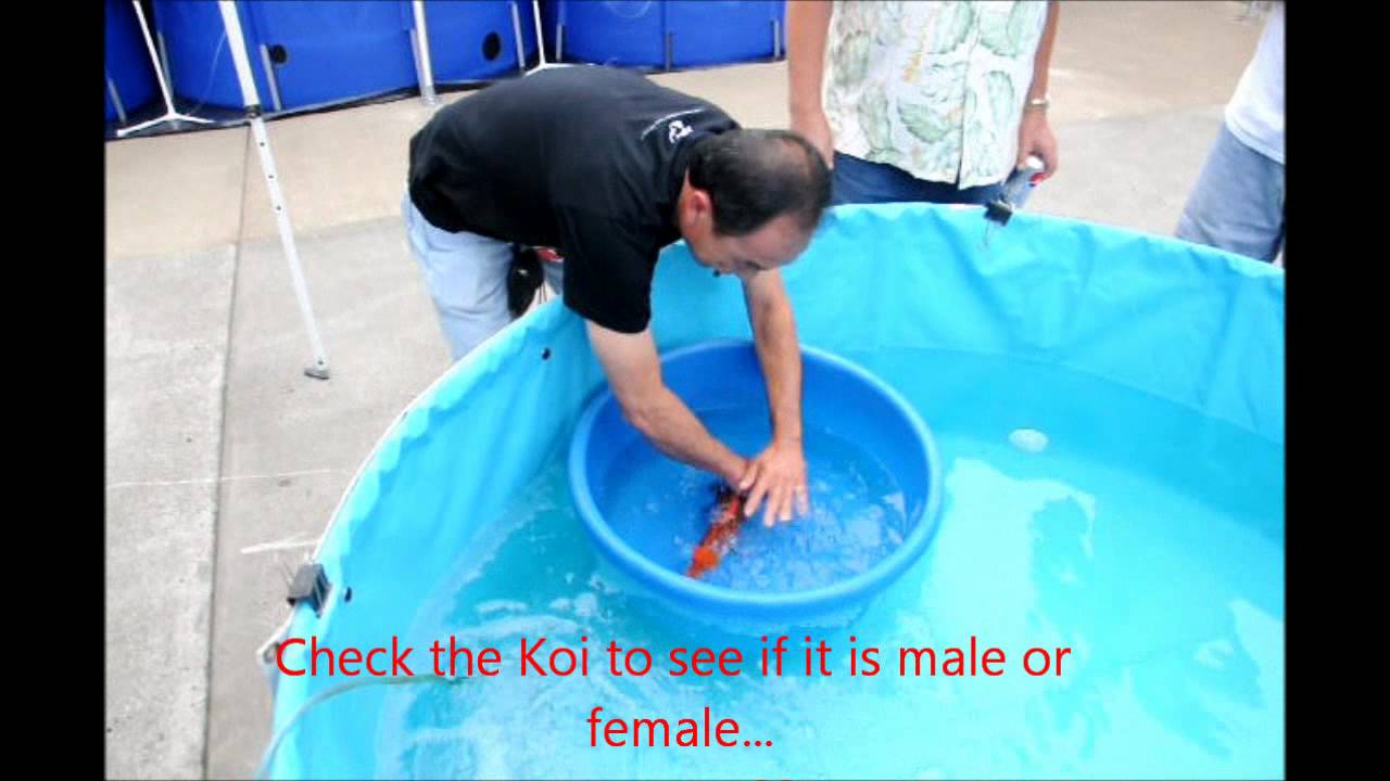 How To Tell If Your Koi Is Male Or Female - Youtube-3879