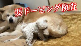 【関連動画】 秋田犬パティ 休日はパパが遊び相手❣   - YouTube https:/...