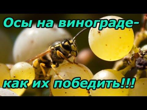 НАДЁЖНАЯ ЗАЩИТА ВИНОГРАДА ОТ ОС! | винограде | виноград | бороться | осами | осы | как | на | с