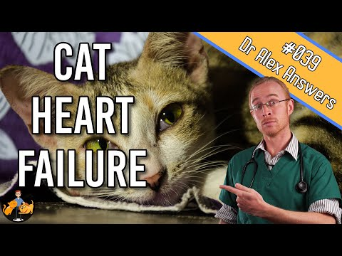 Heart Failure In Cats - Symptoms, Treatment + Life Expectancy - Cat Health Vet Advice