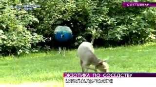 Время новостей. Сыктывкарская семья занимается разведением экзотических птиц. 7 августа 2014