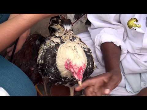 Lalukhet Sunday Birds  Market 15-4-2018 Hen Rooster available  Jamshed Asmi Informative Channel