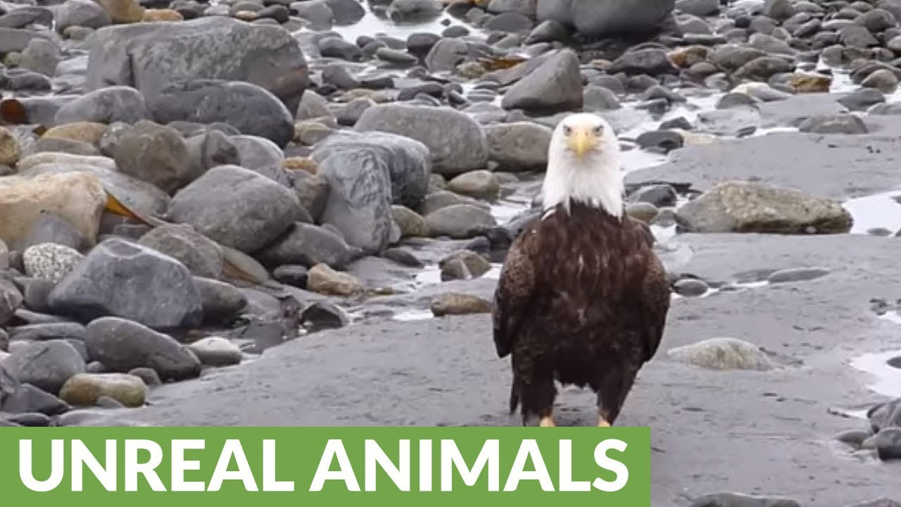 Bald Eagle Casually Walking On The Beach Youtube