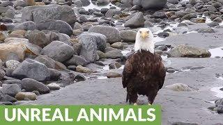 Bald Eagle casually walking on the beach