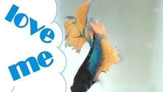 ikan cupang ( blue yellow halfmoon betta fish )