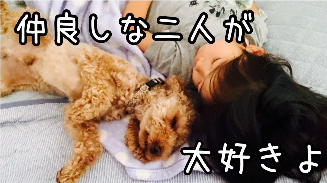 🐶【寝顔】トイプードルはたまーに仲良くしてくれます。【犬】【toy poudre】【dog】