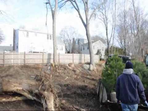 Trees For Boston Mass