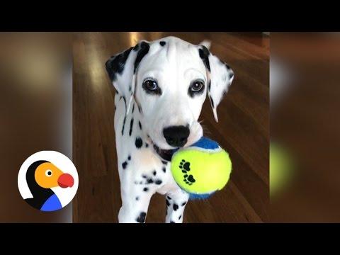 Dalmatian Puppy Sneak Attack | The Dodo