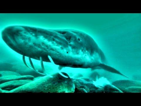 Oversize Sturgeon underwater gopro eating a whole 3 pound Shad